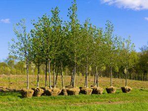 Ho to plant a tree